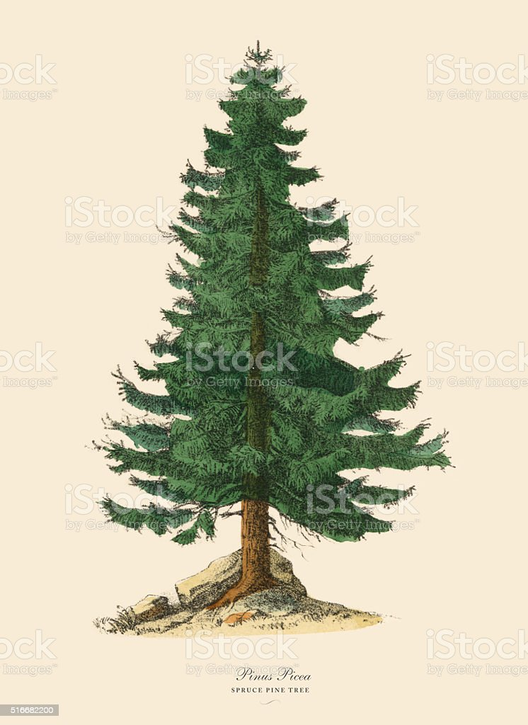 Spruce Pine Tree or Pinus Picea, Victorian Botanical Illustration vector art illustration