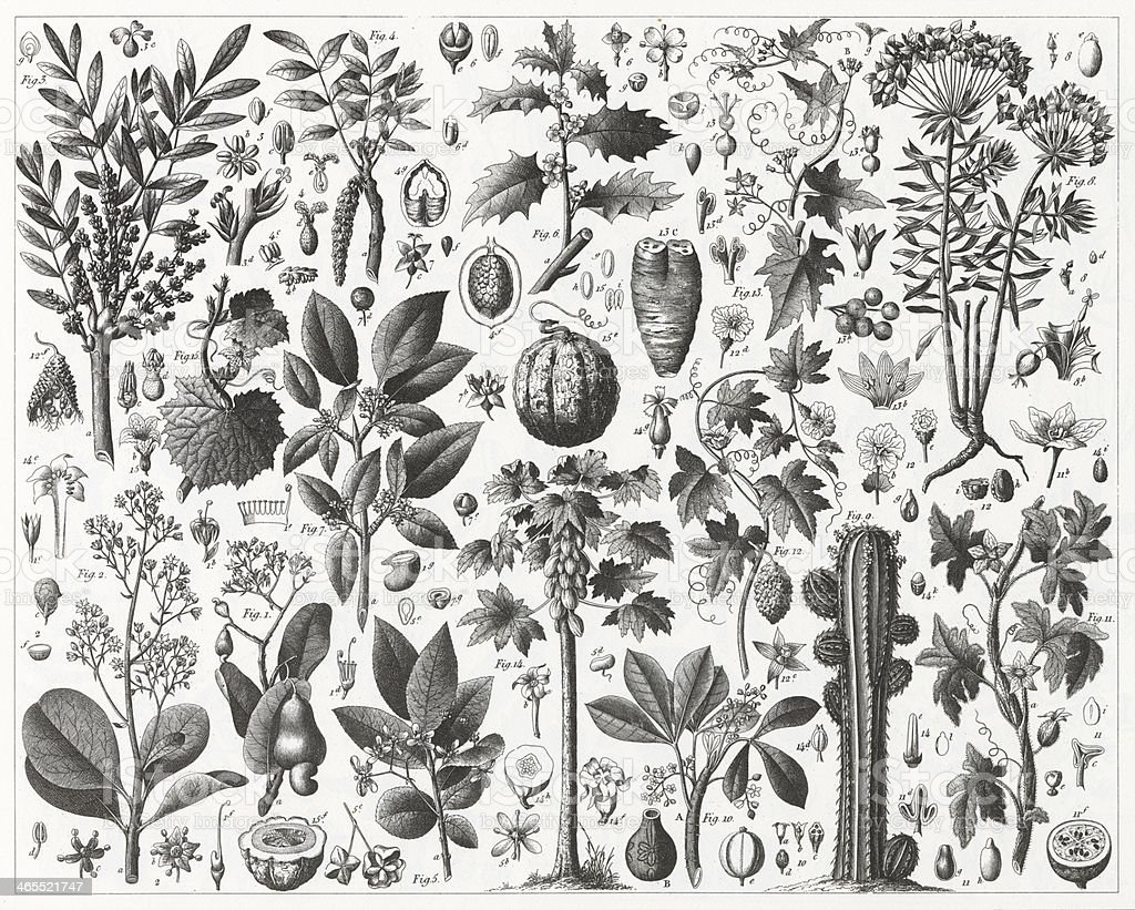 Spurge and Gourd Family Engraving vector art illustration