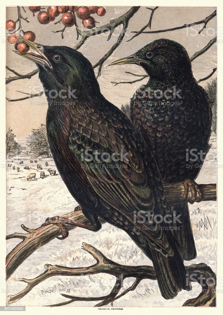 Starlings eating berries, 1870 vector art illustration