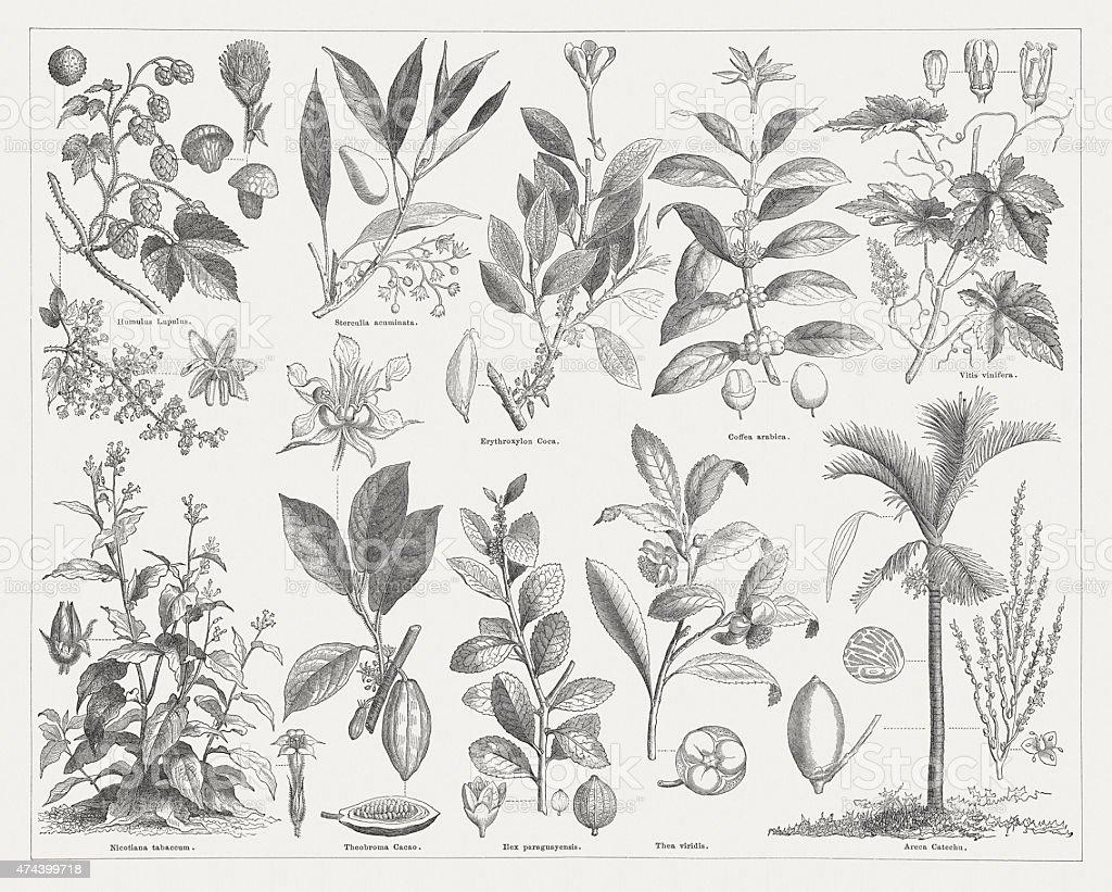 Stimulant plants, wood engraving, published in 1876 vector art illustration
