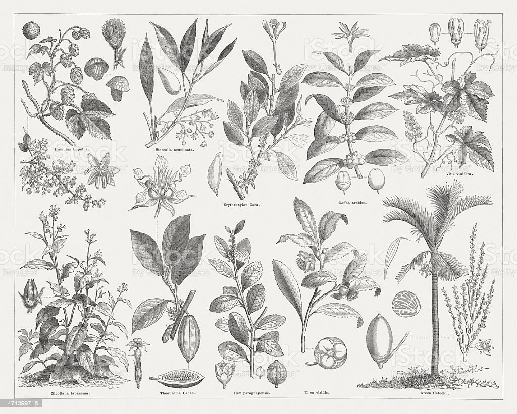 Stimulant plants, wood engraving, published in 1876 vector art illustration