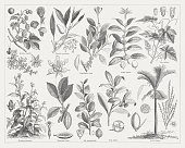 Stimulant plants, wood engraving, published in 1876