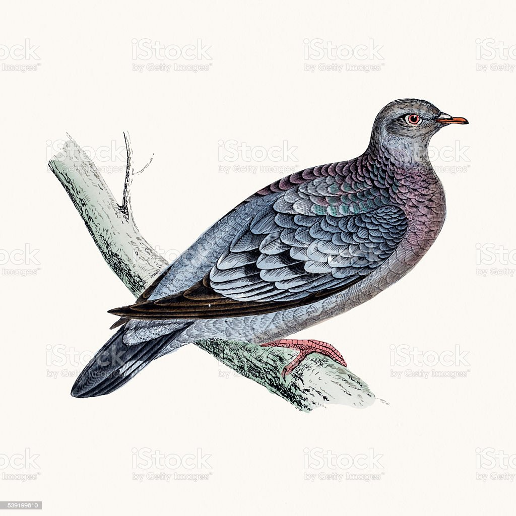 Stock dove bird vector art illustration