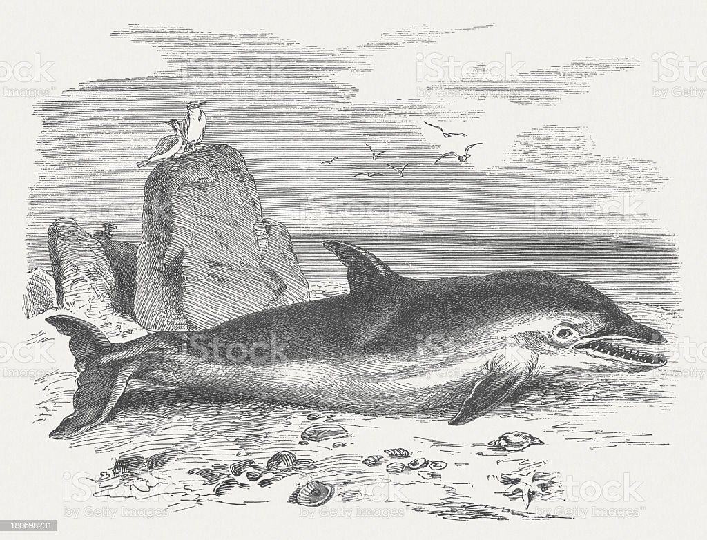 Stranded dolphin, wood engraving, published in 1875 royalty-free stock vector art