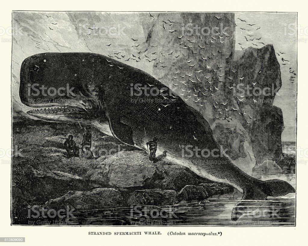 Stranded sperm whale, 19th Century vector art illustration