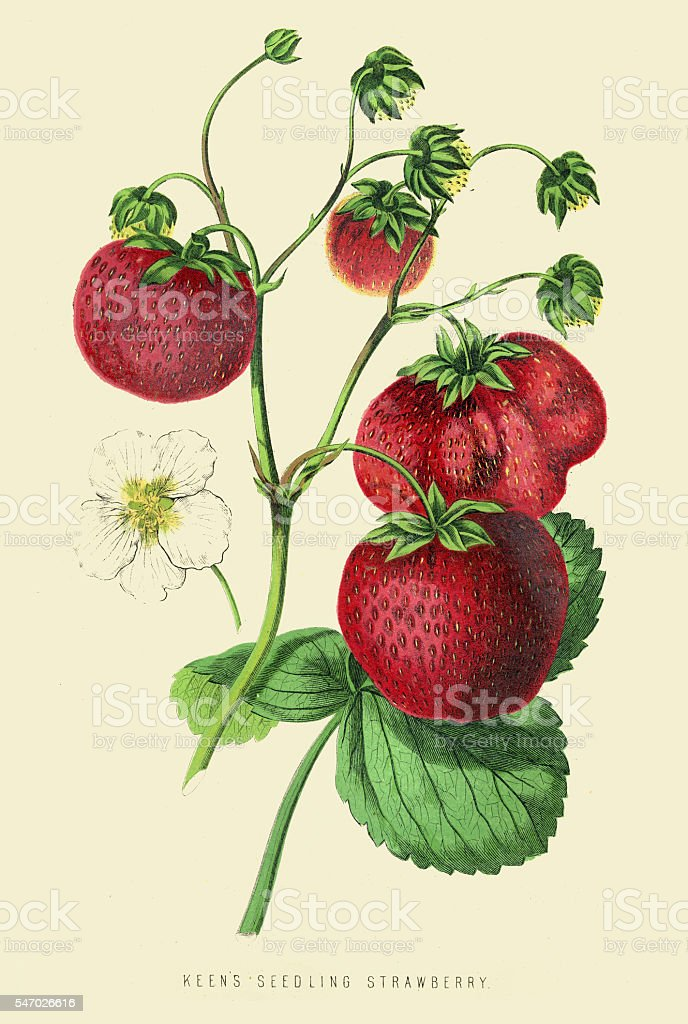 Strawberries illustration 1874 vector art illustration