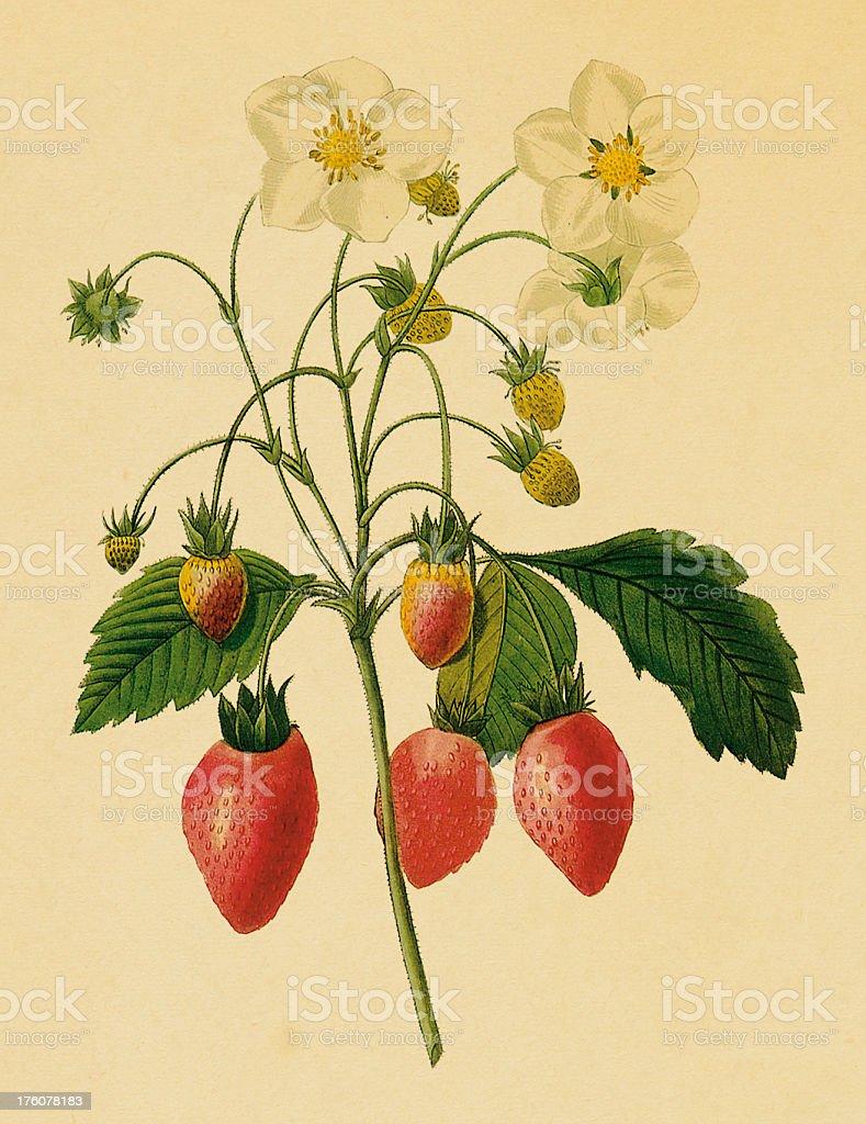Strawberry | Antique Flower Illustrations royalty-free stock vector art
