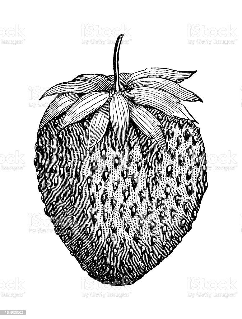 Strawberry Illustration | Vintage Garden Fruit Clipart royalty-free stock vector art