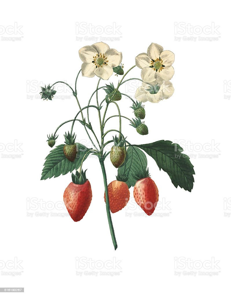 Strawberry | Redoute Botanical Illustrations vector art illustration