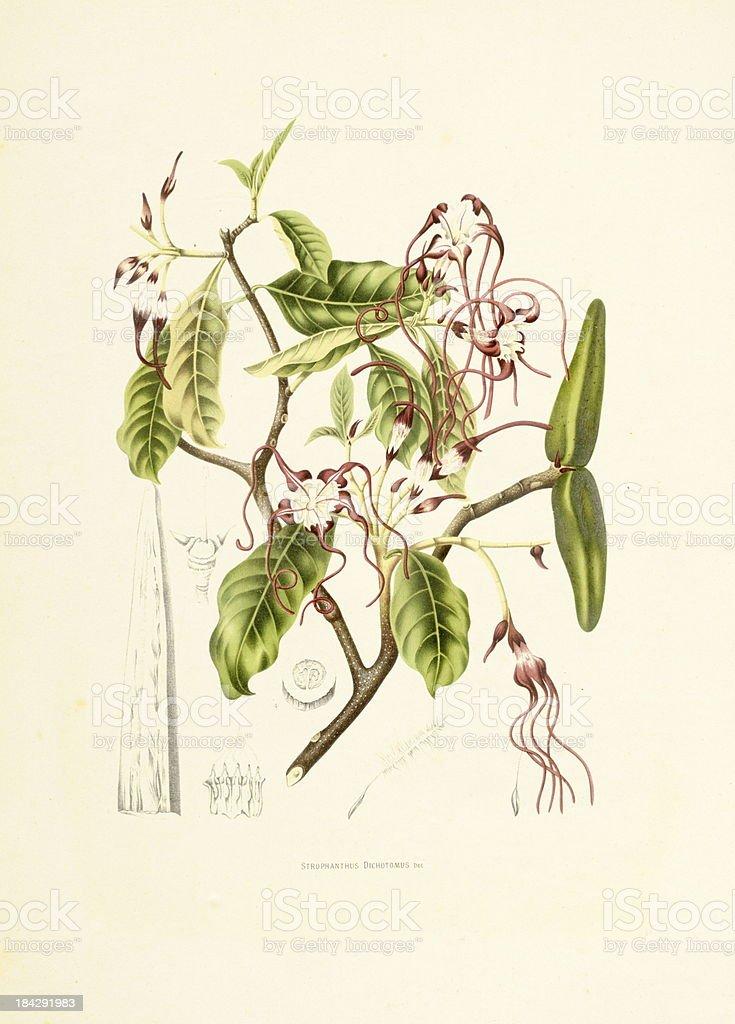Strophanthus dichotomus | Antique Plant Illustrations vector art illustration