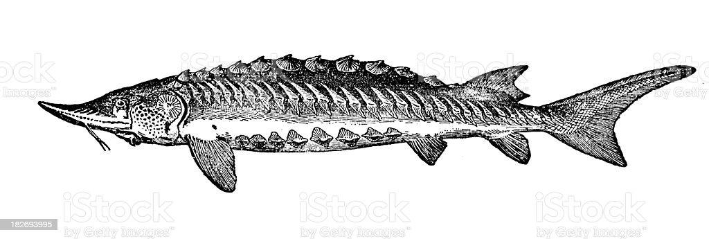 Sturgeon | Antique Animal Illustrations royalty-free stock vector art