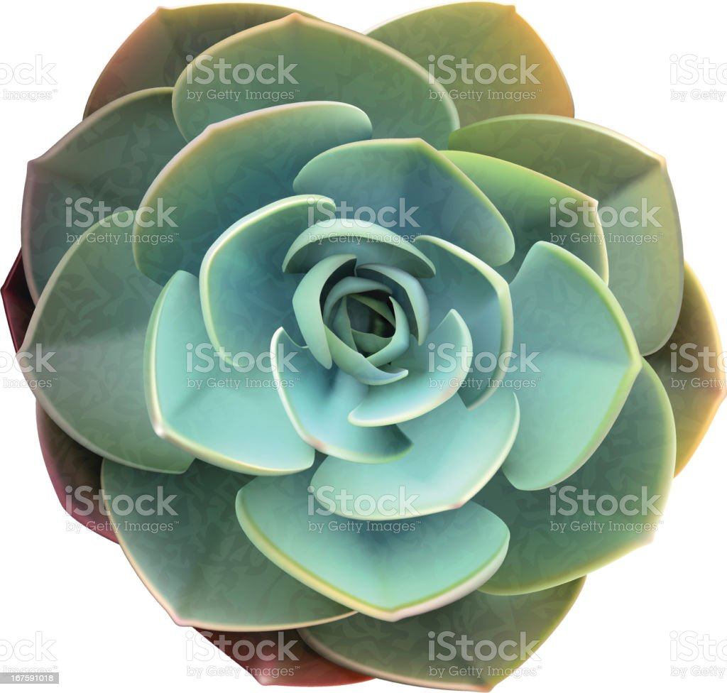 Succulent-Vector Illustration royalty-free stock vector art