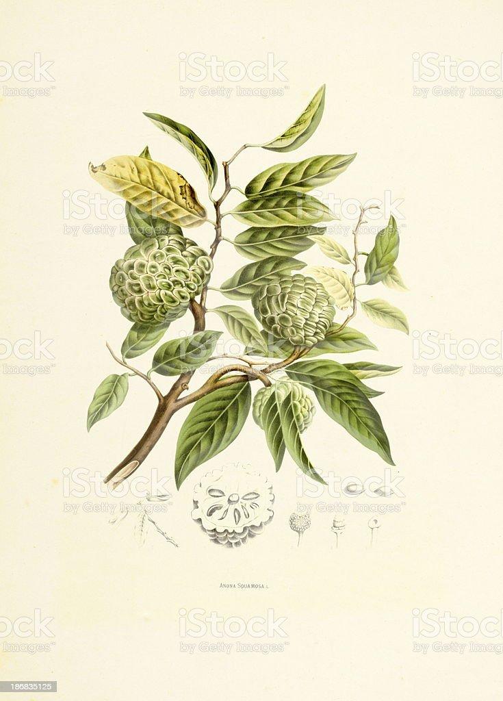 Sugar apple | Antique Plant Illustrations vector art illustration
