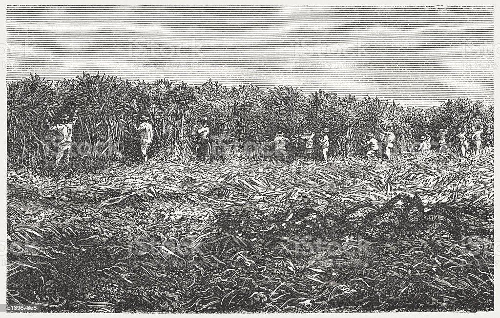 Sugar cane plantation, wood engraving, published in 1880 vector art illustration