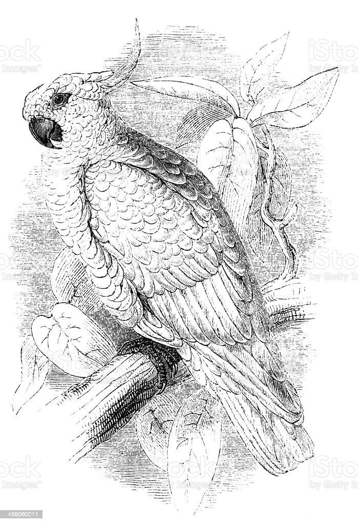 Sulphur-crested Cockatoo vector art illustration