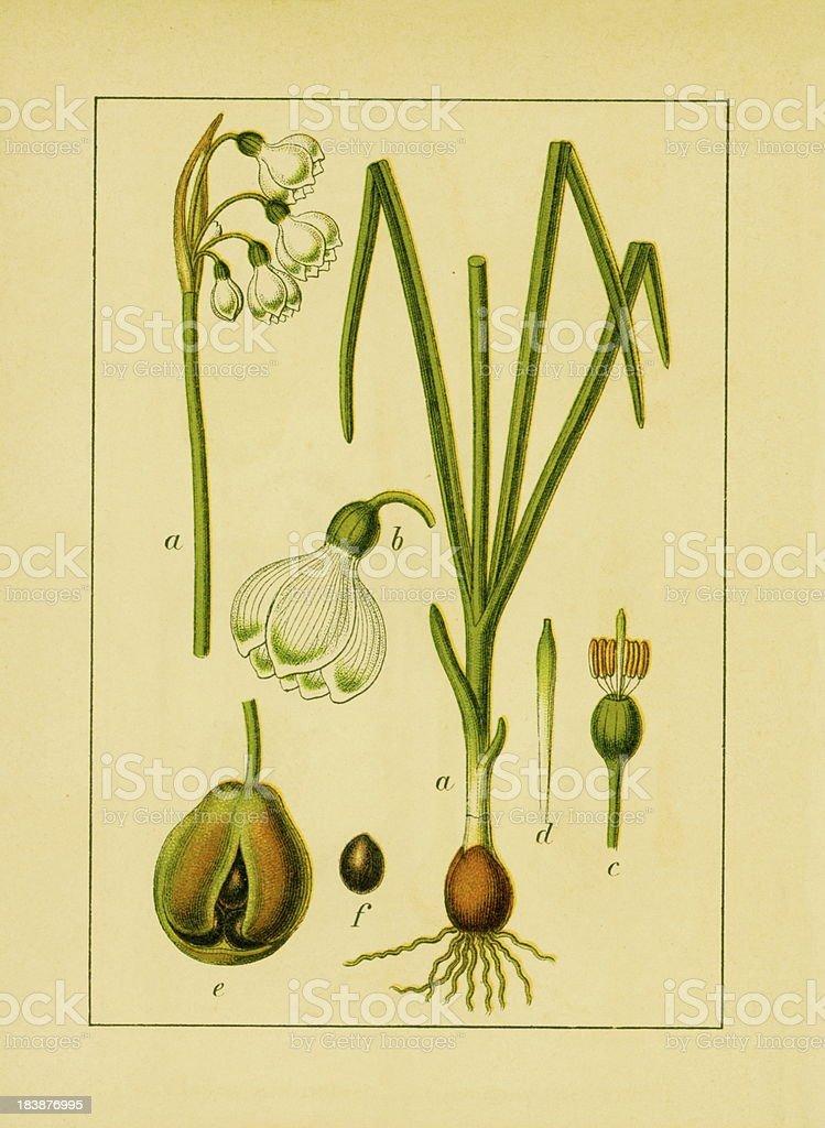 Summer snowflake | Antique Flower Illustrations royalty-free stock vector art