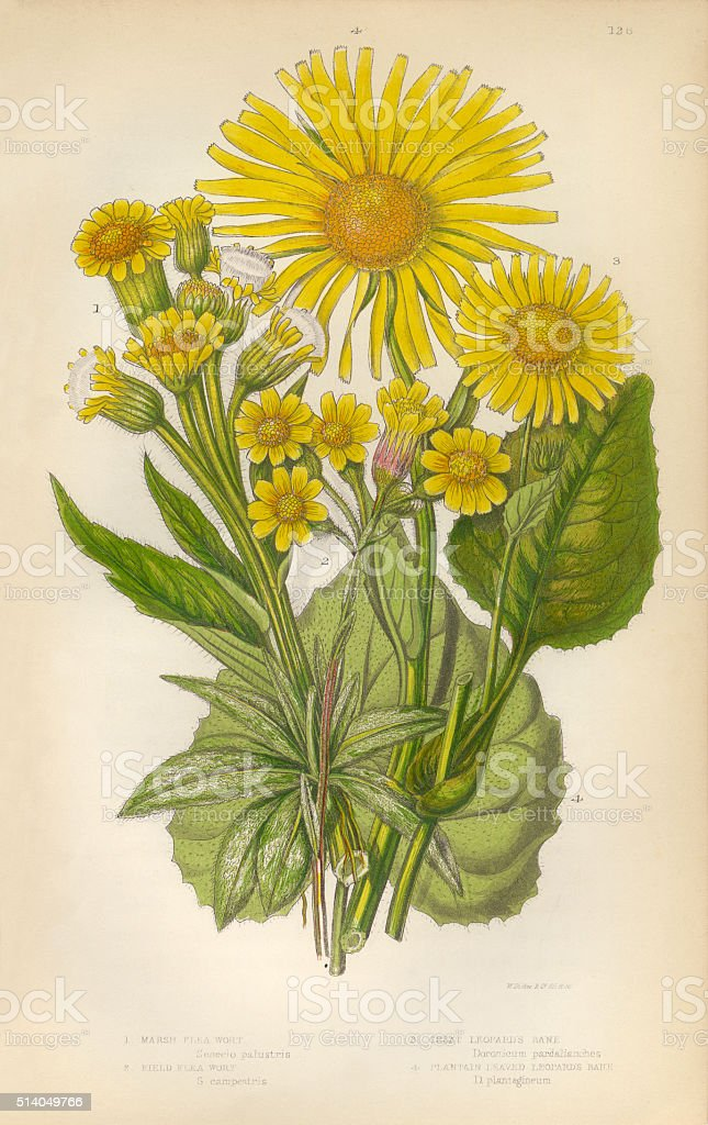 Sunflower, Aster, Ragwort, Fleawort, Tansy, Leopards Bane, Victorian Botanical Illustration stock photo