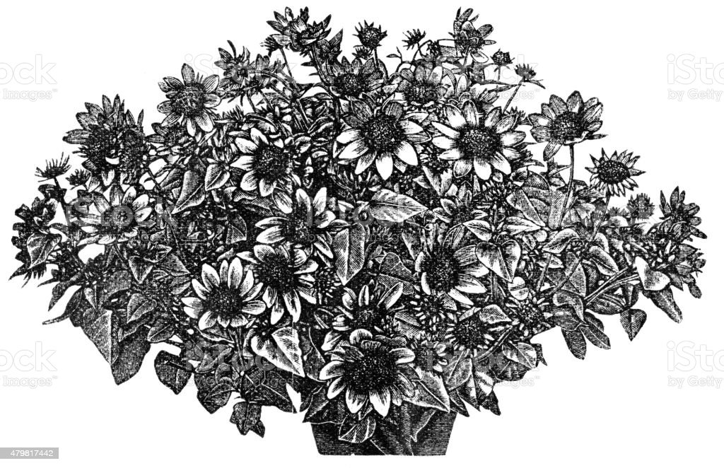 sunflower or geliantus vector art illustration