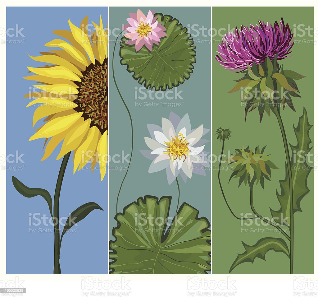 Sunflower, water-lily, thistle royalty-free stock vector art