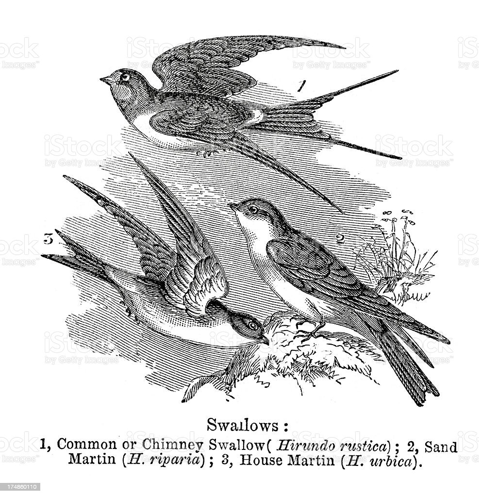 Swallows royalty-free stock vector art