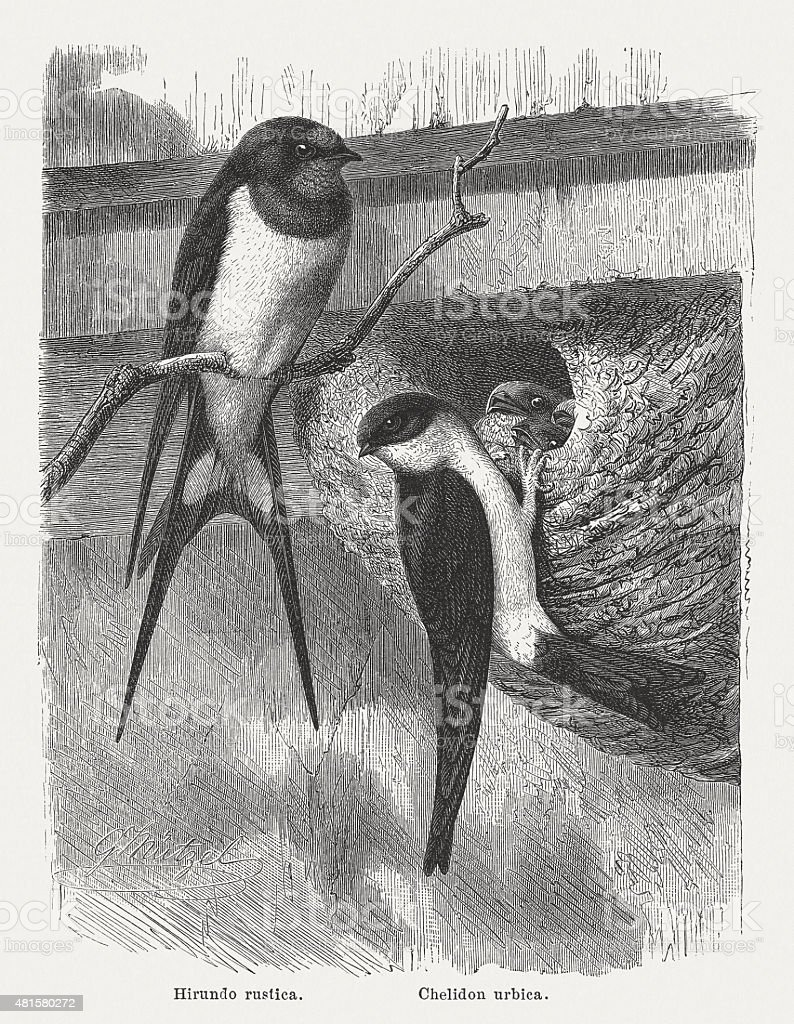 Swallows, published in 1882 vector art illustration