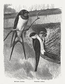 Swallows, published in 1882