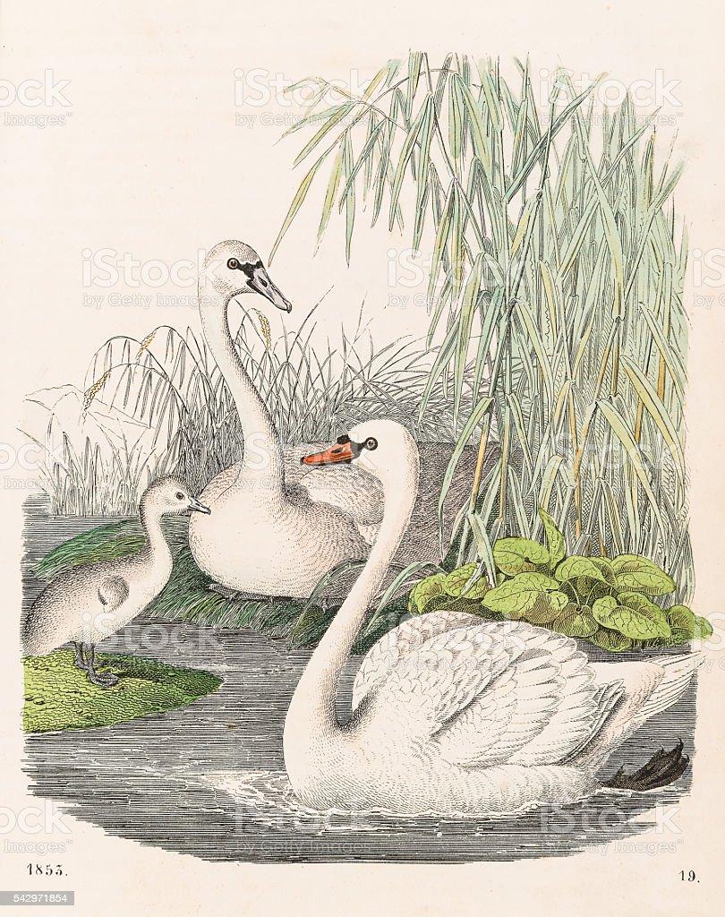 Swans illustration 1853 vector art illustration