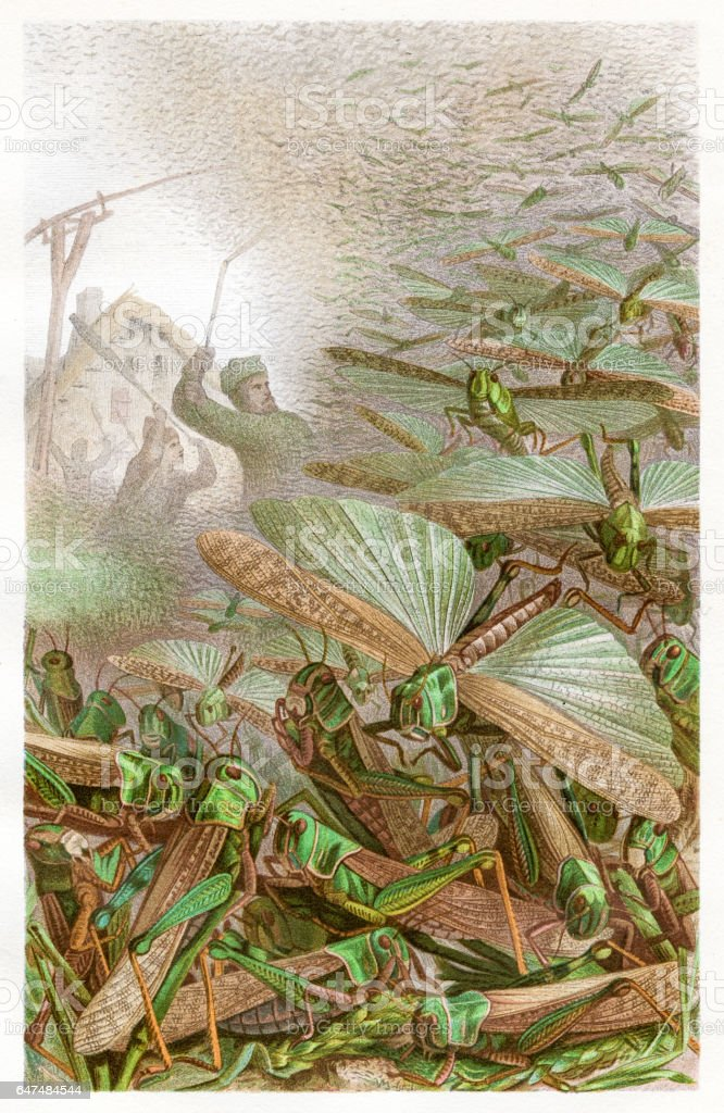 Swarm of grashoppers Chromolithograph 1884 vector art illustration