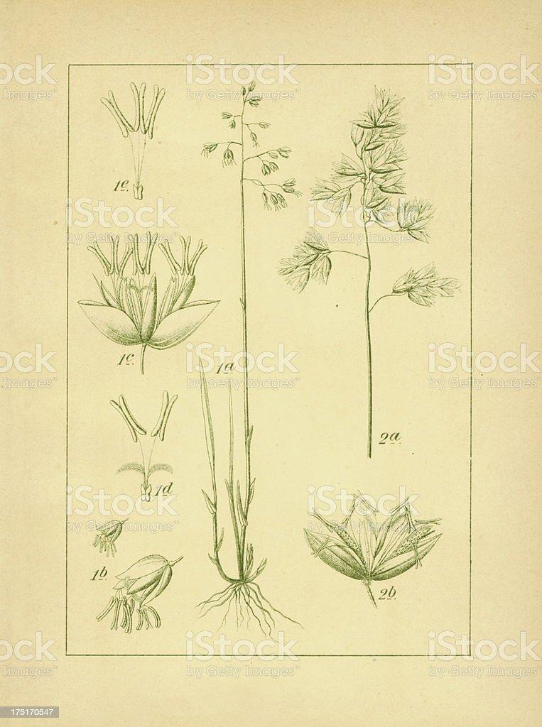 Sweetgrass   Antique Flower Illustrations royalty-free stock vector art