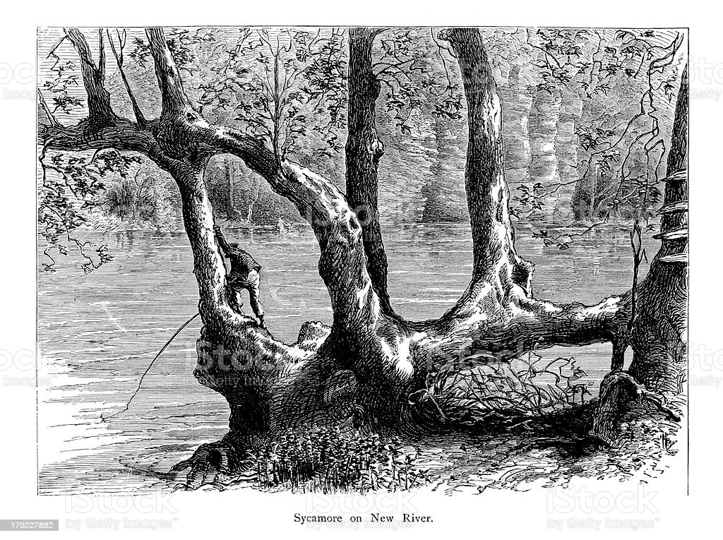 Sycamore on New River, Virginia, wood engraving (1872) royalty-free stock vector art