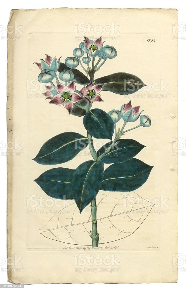 Tall Calotropis, Calotropis Procera, Apocynaceae, Victorian Botanical Illustration, 1835 vector art illustration