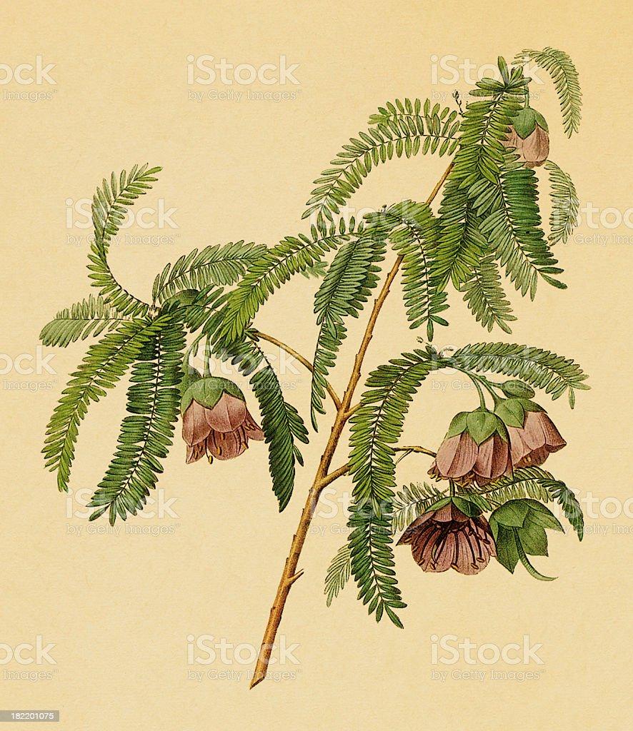 Tamarind flower   Antique Floral Illustrations vector art illustration