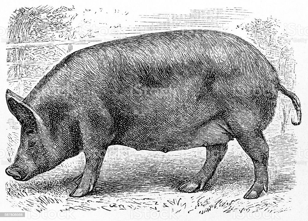 Tamworth pig vector art illustration