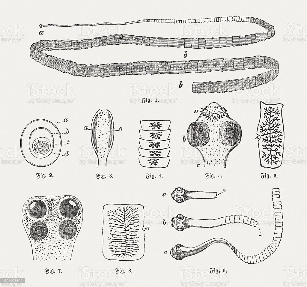 Tapeworms, wood engravings, published in 1882 vector art illustration