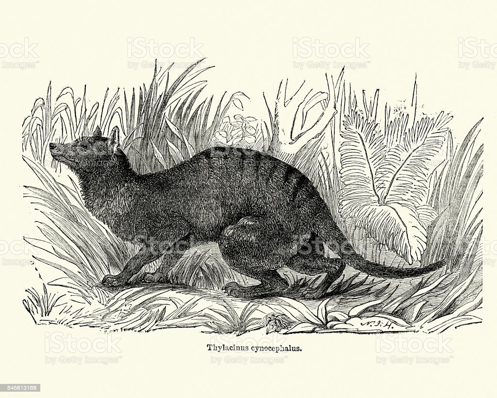 Tasmanian tiger - Thylacinus cynocephalus vector art illustration