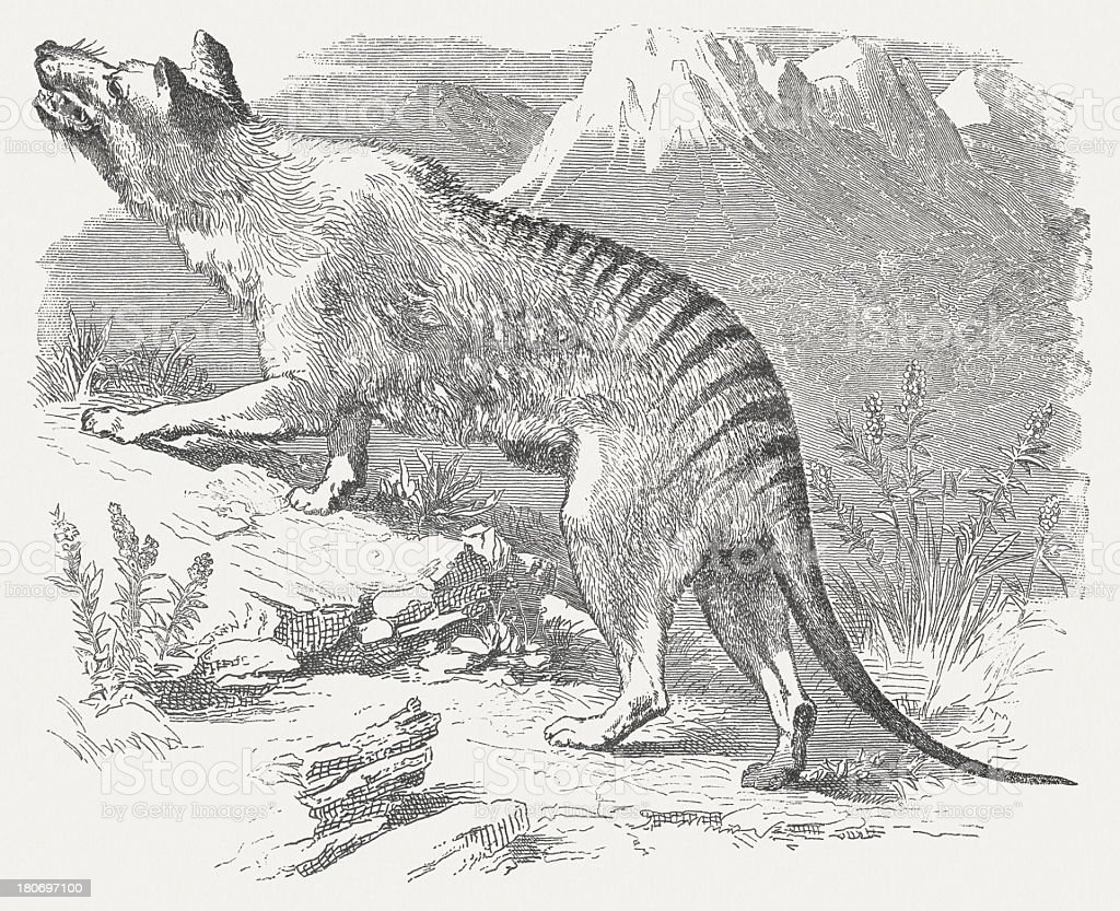 Tasmanian tiger (Thylacinus cynocephalus, extinct 1936), wood engraving, published 1875 royalty-free stock vector art