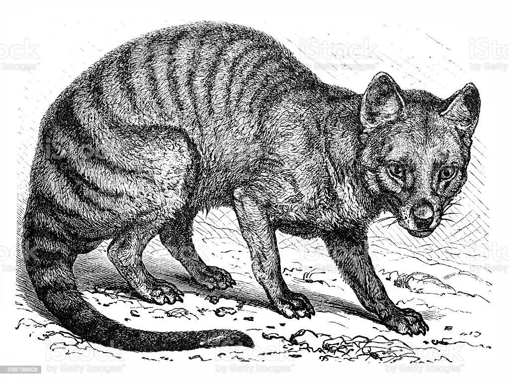 Tasmanian wolf (Thylacinus cynocephalus) vector art illustration