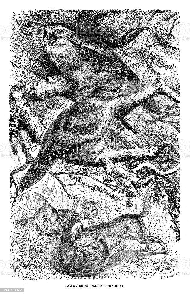 Tawny Shouldered Podargus vector art illustration
