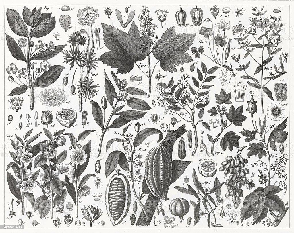 Tea, Grape, Cotton and Cacao Plants vector art illustration