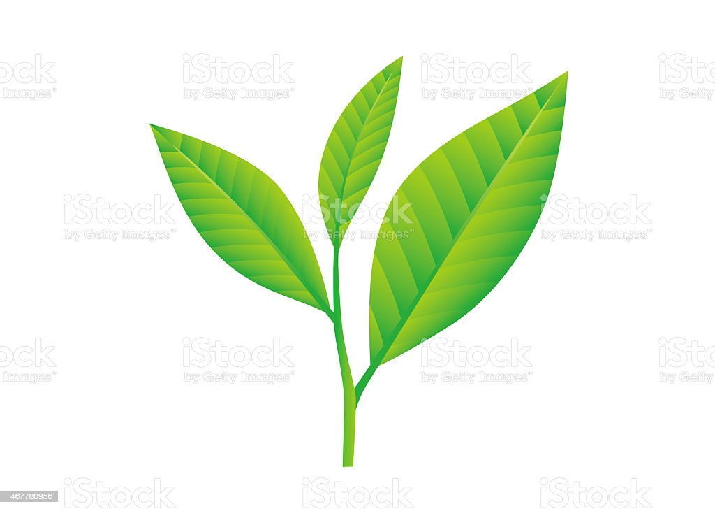 Tea leaves. Camellia sinensis. vector art illustration