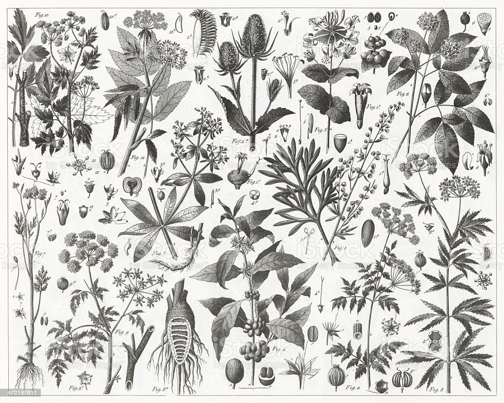 Tea Plants Engraving vector art illustration