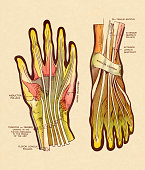 Tendons and Ligaments in Hand and Foot