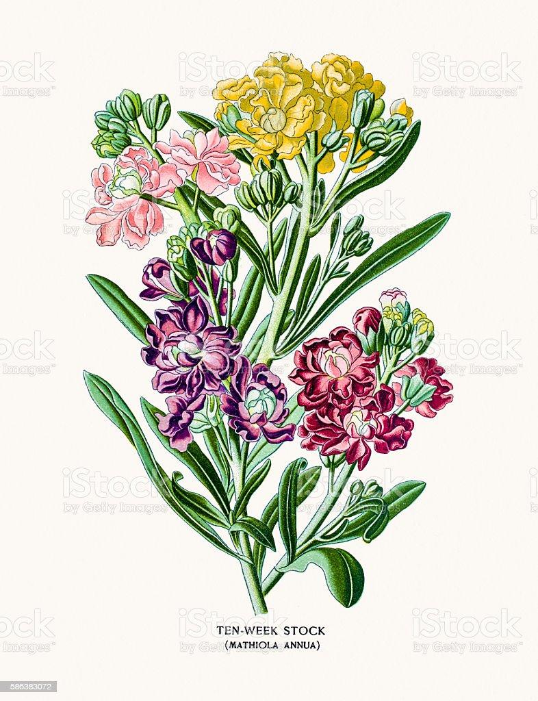 Ten-Week Stock flowers (matthiola ) vector art illustration