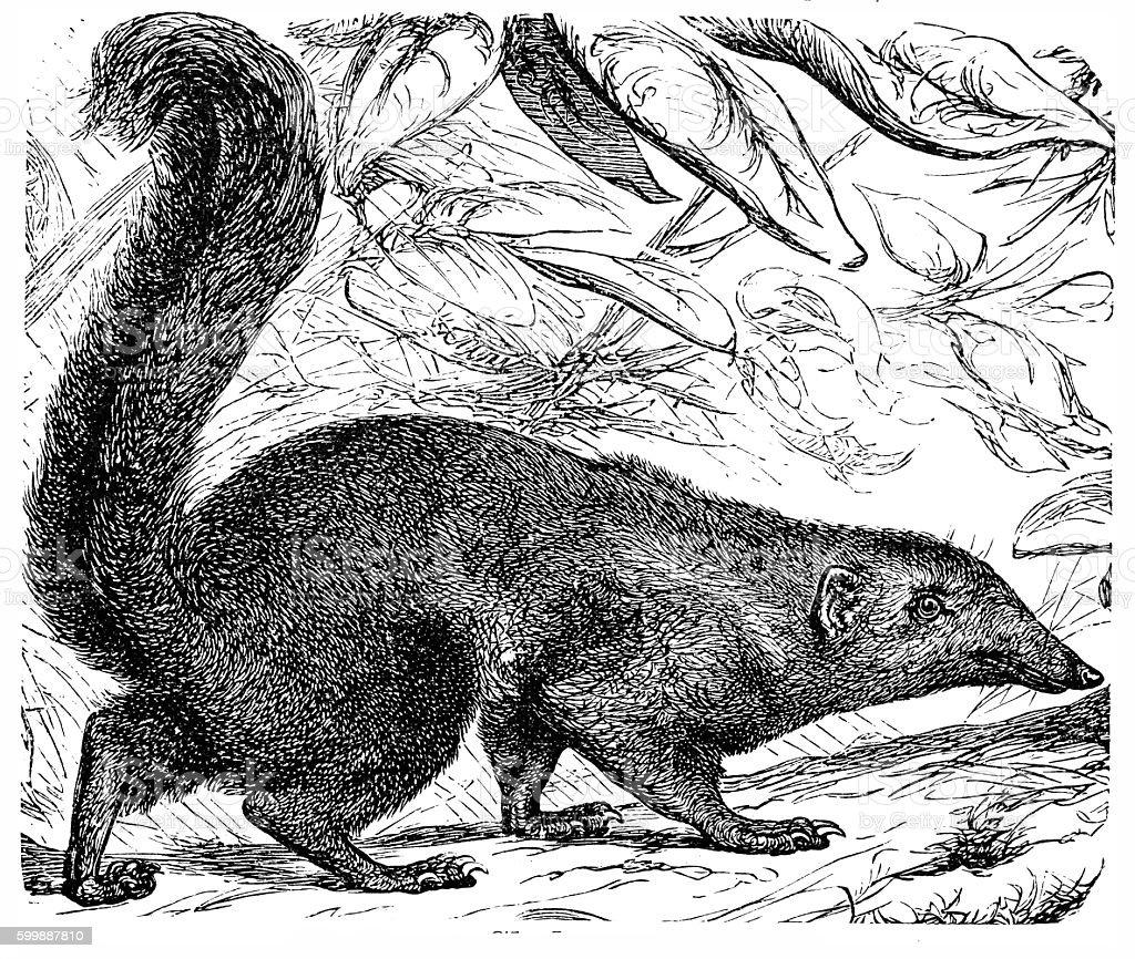 The Banxring or Tana (Cladobates Tana) vector art illustration
