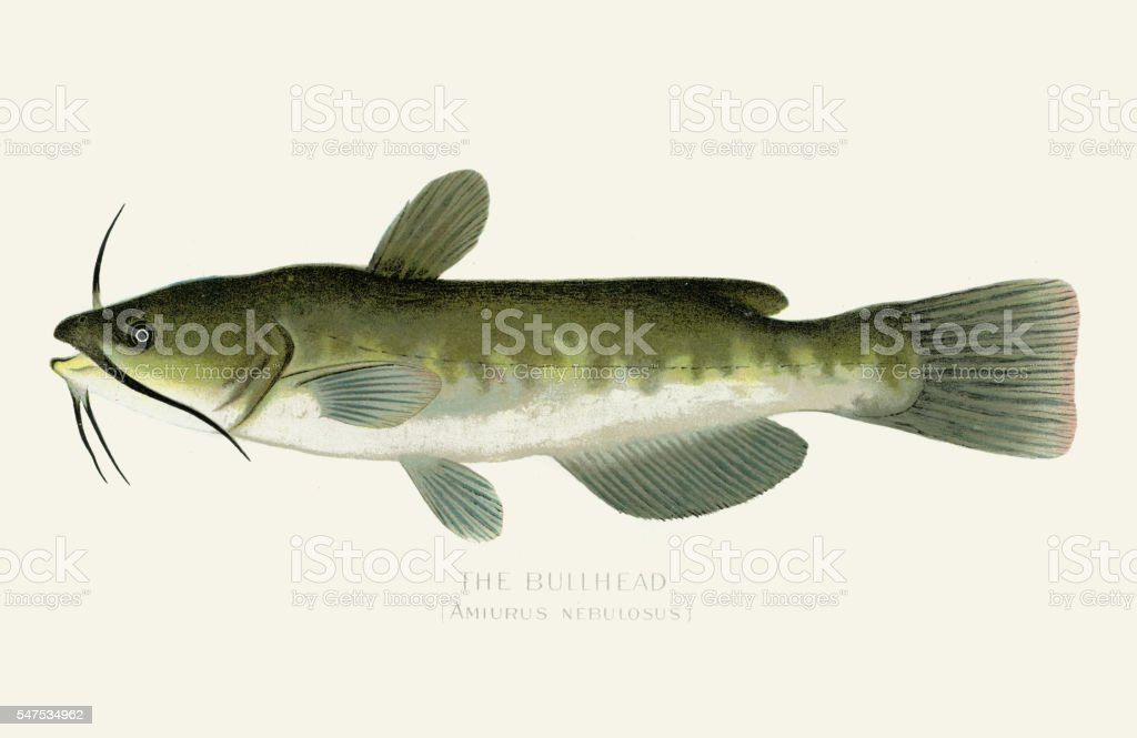 The bullhead fish illustration 1899 vector art illustration
