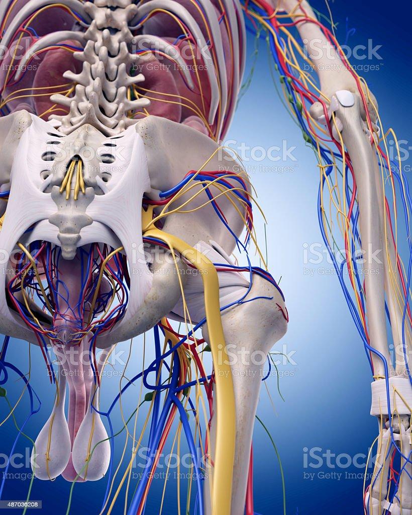 the hip anatomy vector art illustration