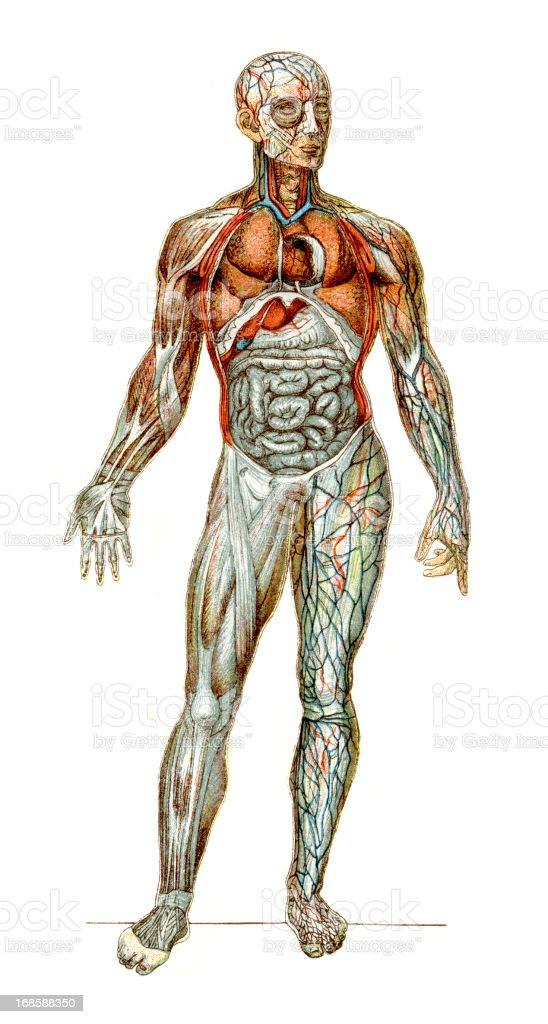 The Human Body vector art illustration