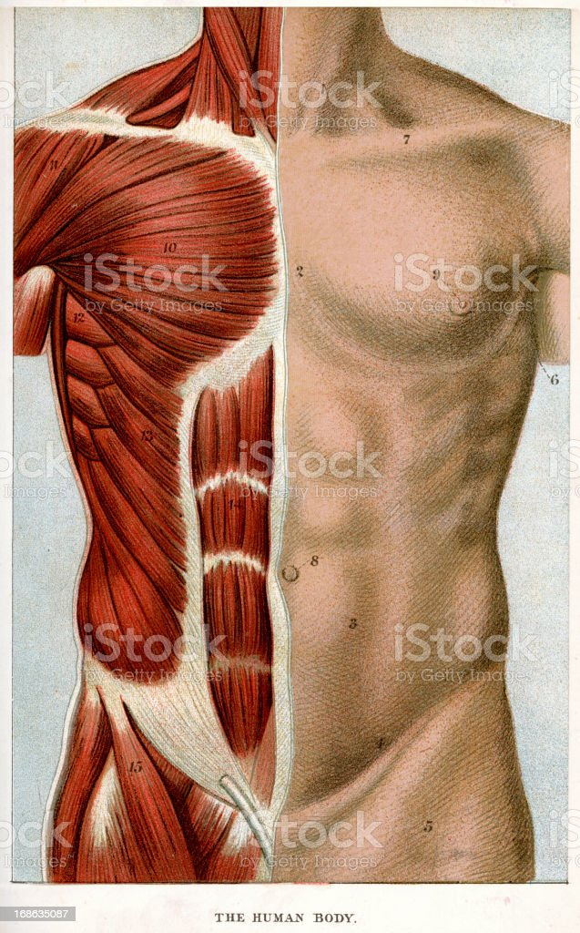 The Human Body vector art illustration