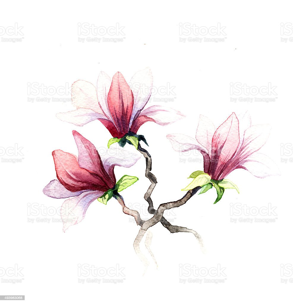 the magnolia flowers watercolor isolated vector art illustration