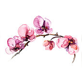 the orchid flowers watercolor isolated